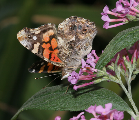 West Coast Lady (Vanessa annabella) butterfly on Orange Eye Butterflybush or Butterfly Bush (Buddleja davidii) flowers
