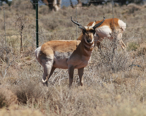 Male American Pronghorn (Antilocapra americana americana) in northern Arizona sagebrush