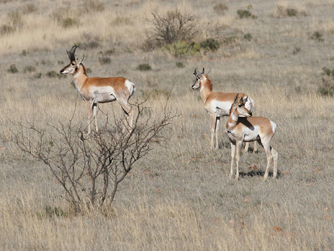Chihuahuan Pronghorns (Antilocapra americana mexicana) in the grasslands of the Las Cienegas NCA