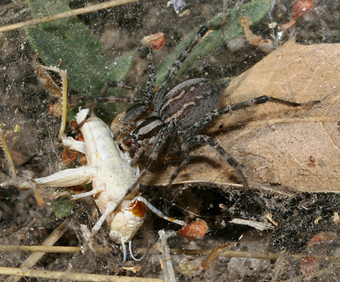 Funnel-Web Spider (Family Agelenidae) and a grasshopper husk
