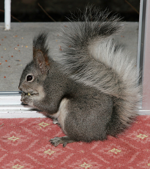 Abert's or Tassel-eared Squirrel (Sciurus aberti)