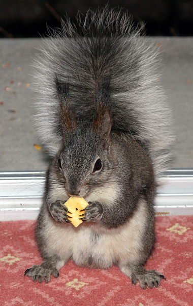 Abert's or Tassel-eared Squirrel (Sciurus aberti) eating a cheese cracker