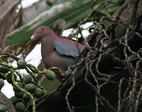 Red-billed Pigeon (Patagioenas flavirostris)