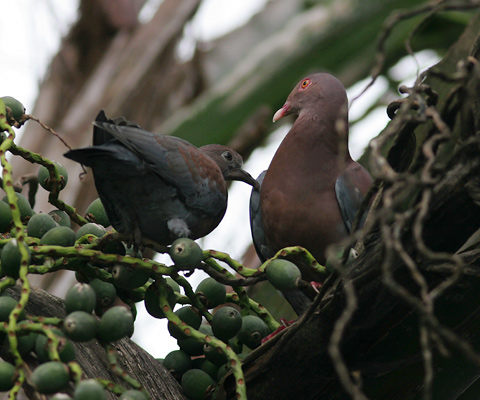 Adult and immature Red-billed Pigeons (Patagioenas flavirostris)