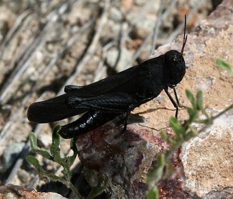 Redwinged Grasshopper (Arphia pseudonietana)