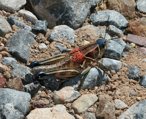Plains Lubber Grasshopper (Brachystola magna)