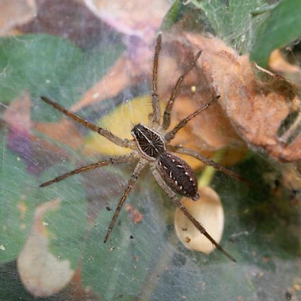 Funnel-Web Wolf Spider (Sosippus sp.)