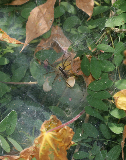 Funnel-Web Wolf Spider (Sosippus sp.) on its sheet web
