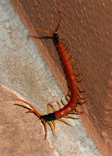 Arizona Giant Centipede (Scolopendra heros arizonensis)