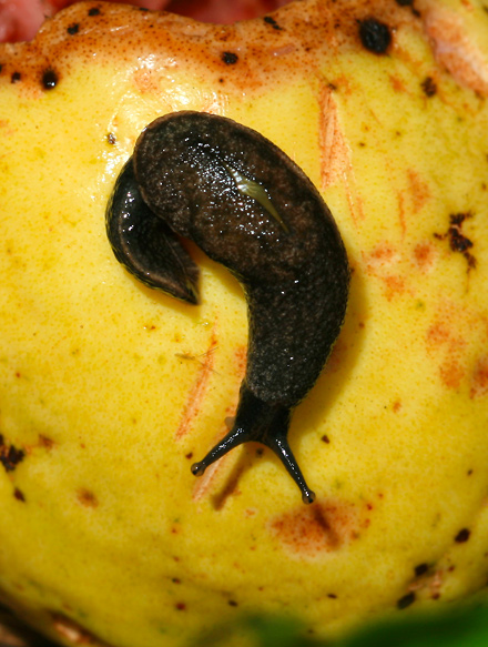 Yellow-shelled Semi-slug (Parmarion martensi) on a Guava (Psidium guajava) in Hawaii