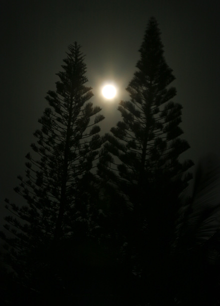 Hawaiian blue moon shining through Cook Pines (Araucaria columnaris)