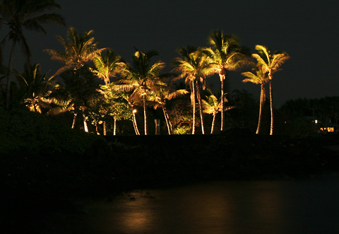 Illuminated Coconut Palms (Cocos nucifera) at night