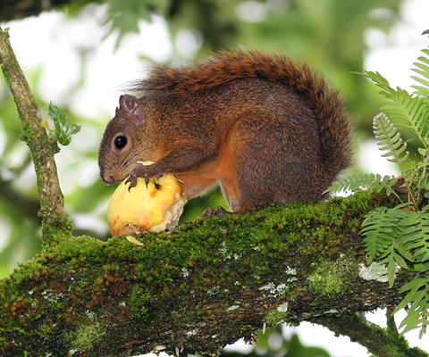 Red-tailed Squirrel (Sciurus granatensis) eating an apple