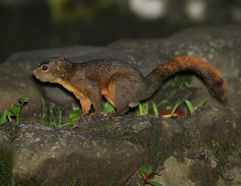Red-tailed Squirrel (Sciurus granatensis)