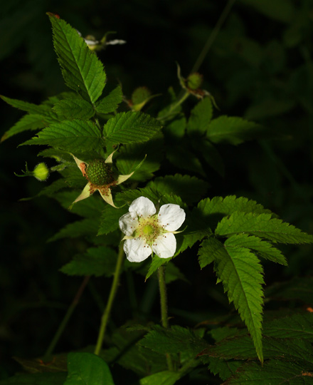 West Indian Raspberry, Thimbleberry, Ola'a, Roseleaf Raspberry, or Rose-leaf Bramble (Rubus rosifolius) flower