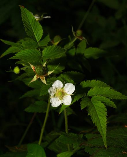 West Indian Raspberry, Thimbleberry, Ola'a, Roseleaf Raspberry, or Rose-leaf Bramble (Rubus rosifolius) flower