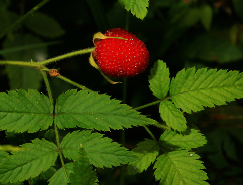 West Indian Raspberry, Thimbleberry, Ola'a, Roseleaf Raspberry, or Rose-leaf Bramble (Rubus rosifolius) fruit