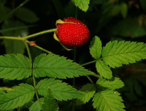 West Indian Raspberry, Thimbleberry, Ola'a, Roseleaf Raspberry, or Rose-leaf Bramble (Rubus rosifolius) fruit
