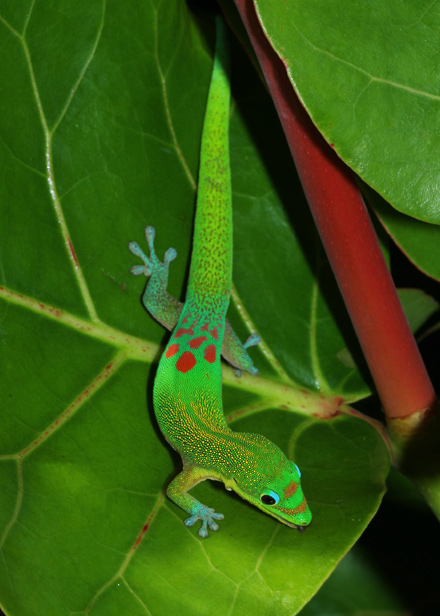 Gold Dust Day Gecko (Phelsuma laticauda) on a Sea Grape (Coccoloba uvifera) leaf