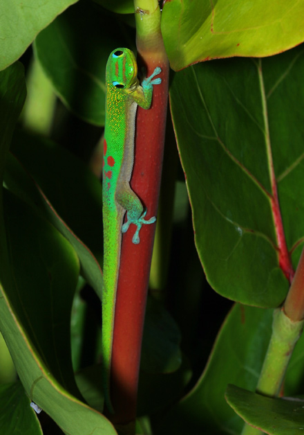 Gold Dust Day Gecko (Phelsuma laticauda) on a Sea Grape (Coccoloba uvifera) stem
