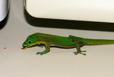 Gold Dust Day Gecko (Phelsuma laticauda) eating toast crumbs in a kitchen