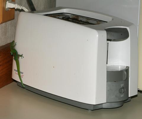 Gold Dust Day Gecko (Phelsuma laticauda) crawling on a toaster