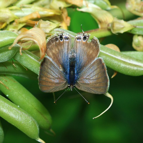Female Long-tailed Blue, Peablue, Pea Blue, or Bean Butterfly (Lampides boeticus)