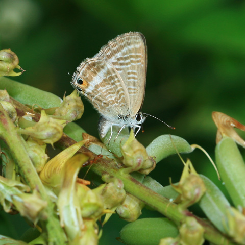 Female Long-tailed Blue, Peablue, Pea Blue, or Bean Butterfly (Lampides boeticus) laying eggs