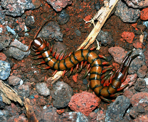 Giant Centipede (Scolopendra subspinipes) in Hawaii