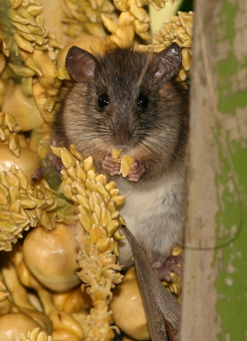 Polynesian Rat (Rattus exulans) eating flowers and nutlets in a Coconut Palm (Cocos nucifera) in Hawaii