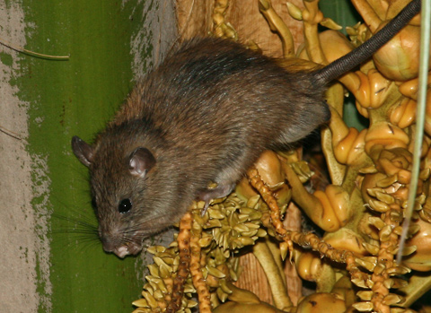 Polynesian Rat (Rattus exulans) in Hawaii
