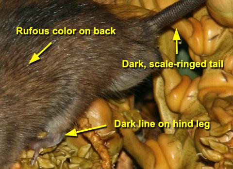 Polynesian Rat (Rattus exulans) identification