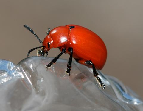 Reddish Potato Beetle - Leptinotarsa rubiginosa