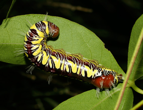 Colorful caterpillar of a Lirimiris truncata on a Thurber's Cotton (Gossypium thurberi) leaf