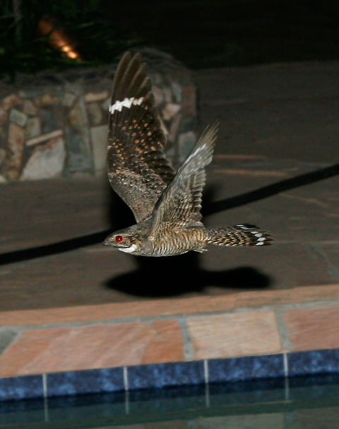 Male Lesser Nighthawk (Chordeiles acutipennis) with red eyeshine