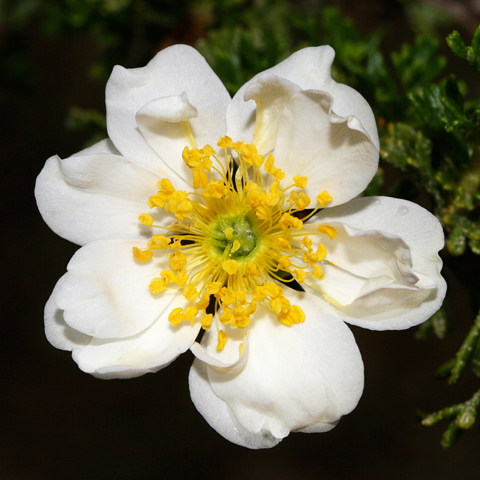 Double-flowered Stansbury Cliffrose (Purshia stansburiana)